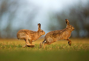 Brown hare (Lepus europaeus) adult male pursuing female, Derbyshire, UK, February.  -  Andrew Parkinson