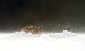 Brown hare (Lepus europaeus) adult male hunched down during strong winds and wind blown snow. Derbyshire, UK, March.  -  Andrew Parkinson