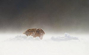 Brown hare (Lepus europaeus) adult hunched down during strong winds and wind blown snow. Derbyshire, UK, March.  -  Andrew Parkinson