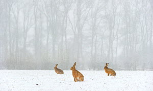 Brown hare (Lepus europaeus) three adults in snow covered field during a snow fall, Derbyshire, UK, February. - Andrew Parkinson
