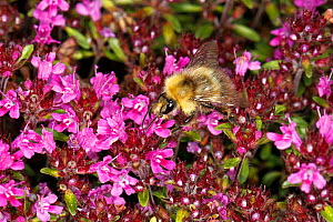 Common carder bumblebee (Bombus pascuorum) worker feeding on Thyme (Thymus) flower in garden Cheshire, England, UK. June.  -  Alan  Williams