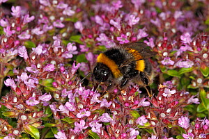 Buff-tailed bumblebee (Bombus terrestris) queen feeding on Thyme (Thymus) in garden Cheshire, England, UK. June.  -  Alan  Williams