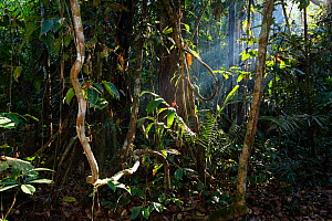 Lowland rainforest with sun beams shining through, Panguana Reserve, Huanuca province, Amazon basin, Peru.  -  Konrad  Wothe