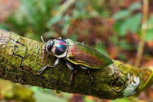 Metallic wood boring beetle (Euchroma gigantea) in rainforest, Panguana Reserve, Huanuco province, Amazon basin, Peru.  -  Konrad  Wothe