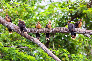 Hoatzins (Opisthocomus hoazin) group perched on branch, rainforest, Panguana Reserve, Peru. - Konrad  Wothe