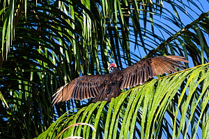 Turkey vulture (Cathartes aura) with wings outstreched in palm tree, Panguana Reserve, Huanuco province, Amazon basin, Peru. - Konrad  Wothe