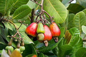Cashew apple (Anacardium occidentale) ripening on tree with nuts at the bottom of the fruit, Peru.  -  Konrad  Wothe