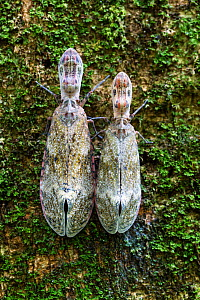 Lantern bugs (Fulgora laternaria) on tree trunk,  Panguana Reserve, Peru.  -  Konrad  Wothe