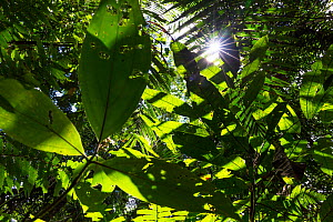 View up into canopy with sun rays shining through the leaves,  lowland rainforest, Panguana Reserve, Huanuco province, Amazon basin, Peru.  -  Konrad  Wothe