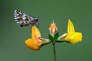 Grizzled skipper (Pyrgus malvae) butterfly at rest on birdsfoot trefoil. Dorset, UK, May.  -  Colin Varndell