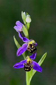 Bee orchid (Ophrys apifera) in flower. Dorset, England, UK, June.  -  Colin Varndell