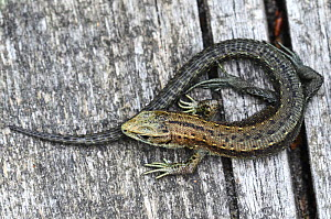 Common lizard (Lacerta vivipara) basking on boardwalk. Thursley Common, Surrey, England, UK, June.  -  Colin Varndell