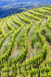 Vineyard landscape, Planes del Priorat Area of Natural Interest, Tarragona, Catalonia,Spain, May 2013. - Juan Manuel Borrero