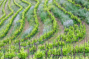 Vineyard landscape, Planes del Priorat Area of Natural Interest, Tarragona, Catalonia, Spain, May 2013.  -  Juan Manuel Borrero