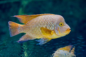 Pearl cichlid (Geophagus brasiliensis) captive, occurs in Brazil and Uruguay.  -  Juan Manuel Borrero