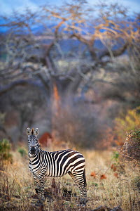Common or plains zebra (Equus quagga burchelli) grazing in bushTarangire National Park, Northern Tanzania. - Cheryl-Samantha  Owen