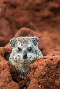 Southern tree hyrax (Dendrohyrax arboreus) on a termite mound, Tarangire National Park, Northern Tanzania.  -  Cheryl-Samantha  Owen