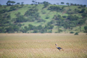 Grey crowned crane (Balearica regulorum gibbericeps) walking in long grass, Grumeti Reserve, Northern Tanzania.  -  Cheryl-Samantha  Owen