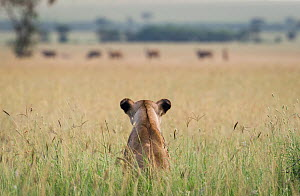 African lioness (Panthera leo) sitting patiently in the long grass, watching herd of Common eland (Tragelaphus oryx). Focus on lion. Grumeti Reserve, Northern Tanzania.  -  Cheryl-Samantha  Owen