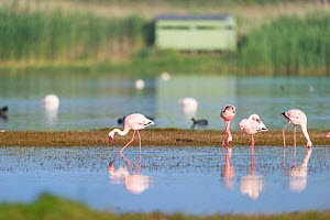 Lesser flamingoes (Phoenicopterus minor) in the water with bird hide in the background, Rocherpan National Park, Western Cape, South Africa.  -  Cheryl-Samantha  Owen