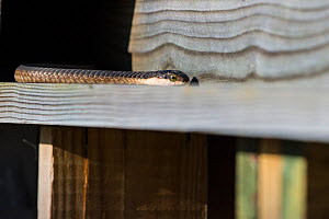 Boomslang (Dispholidus typus) adult female in the roof at the offices of Rocherpan National Park, Western Cape, South Africa.  -  Cheryl-Samantha  Owen