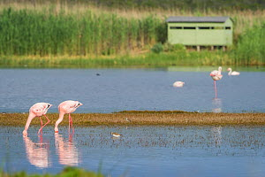 Greater flamingoes (Phoenicopterus roseus) and Lesser flamingoes (Phoenicopterus minor / Phoeniconaias minor) in the water, bird hide in the background, Rocherpan National Park, Western Cape, South Af...  -  Cheryl-Samantha  Owen