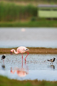 Lesser flamingo (Phoenicopterus minor / Phoeniconaias minor) in the water, with bird hide in the background,  Rocherpan National Park, Western Cape, South Africa.  -  Cheryl-Samantha  Owen