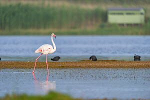 Greater flamingo (Phoenicopterus roseus) in the water bird hide in the background,   Rocherpan National Park, Western Cape, South Africa, October.  -  Cheryl-Samantha  Owen