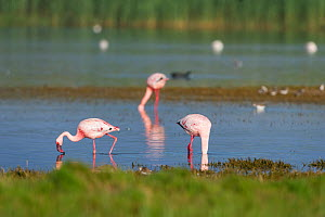 Greater flamingoes (Phoenicopterus roseus) and Lesser flamingoes (Phoenicopterus minor / Phoeniconaias minor) in the water,  Rocherpan National Park, Western Cape, South Africa. October.  -  Cheryl-Samantha  Owen