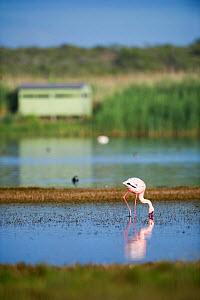 Lesser flamingo (Phoenicopterus minor / Phoeniconaias minor) in the water with bird hide in the background,  Rocherpan National Park, Western Cape, South Africa. October.  -  Cheryl-Samantha  Owen