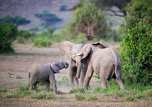 Two young African elephants (Loxodonta africana) play, testing each other's strength, while a small calf tries to jon in. Amboseli National Park, Kenya.  -  Cheryl-Samantha  Owen