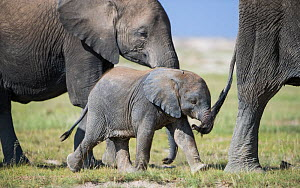 African elephant (Loxodonta africana) baby trying to grab the tail of adult, Amboseli National Park, Kenya. - Cheryl-Samantha  Owen