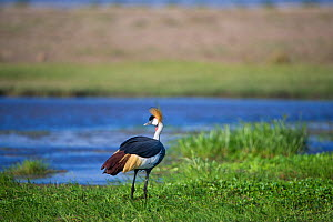 Grey crowned crane (Balearica regulorum gibbericeps), by river, Amboseli National Park, Kenya.  -  Cheryl-Samantha  Owen