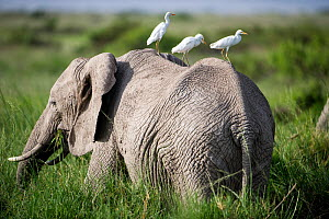 Three Cattle egrets (Bubulcus ibis) sitting on the back of an African elephant (Loxodonta africana) whilst watching for prey the elephant flushes out of the grass. Amboseli National Park, Kenya. - Cheryl-Samantha  Owen