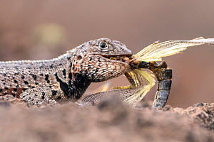 Lava lizard (Tropidurus spp.) eating painted locust, Bartolome Island, Galapagos, Ecuador. May 2015  -  Ross Hoddinott