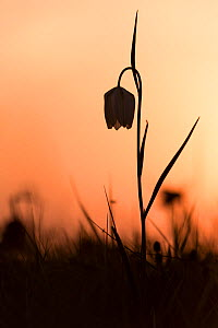 Snakes head fritillary (Fritillaria meleagris) in flower, sillouetted against the setting sun, Cricklade, Wiltshire, UK. April 2015.  -  Ross Hoddinott
