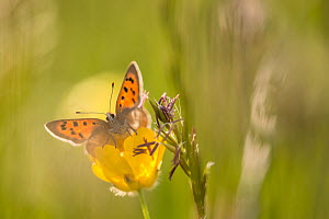 Small Copper (Lycaena phlaeas) on buttercup in meadow, Cornwall, England, UK, May.  -  Ross Hoddinott
