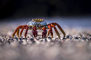 Sally lightfoot crab (Grapsus grapsus) on beach, Isabela Island, Galapagos, Ecuador. May. - Ross Hoddinott