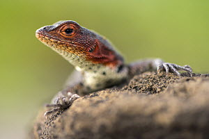 Lava lizard (Tropidurus sp.) resting on rocks, Puerto Egas, Santiago Island, Galapagos, Ecuador. May 2015.  -  Ross Hoddinott