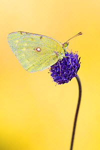 Clouded yellow butterfly (Colias crocea) on Devil's bit scabious (Succisa pratensis), Dunsdon Nature Reserve, Devon, UK. August 2014.  -  Ross Hoddinott