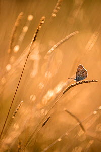 Common blue butterfly (Polyommatus icarus) resting on grasses at sunset, Vealand Farm, Devon, UK. July. - Ross Hoddinott
