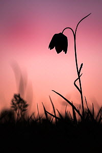 Snakes head fritillary (Fritillaria meleagris) in flower, silhouetted against the setting sun, Cricklade, Wiltshire, UK. April.  -  Ross Hoddinott