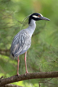 Yellow-crowned night heron (Nyctanassa violacea, formerly placed in the genus Nycticorax), Washington DC, USA, May.  -  John Cancalosi