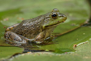 American bullfrog (Rana catesbeiana) in water, Virginia, USA, May. - John Cancalosi