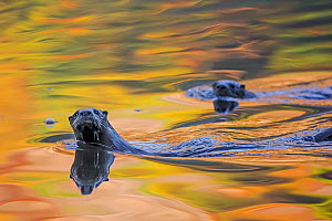 North American river otter (Lontra canadensis) two in water with autumnal trees reflected in the water, Acadia National Park, Maine, USA, October. - George  Sanker