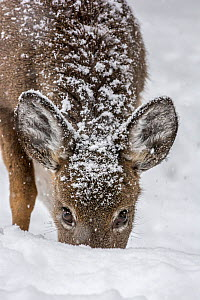 White-tailed deer (Odocoileus virginianus) female grazing in snow,  Acadia National Park, Maine, USA. February. - George  Sanker
