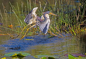 Tricolored heron (Egretta tricolor) taking off from water, Everglades National Park, Florida, USA, March.  -  George  Sanker