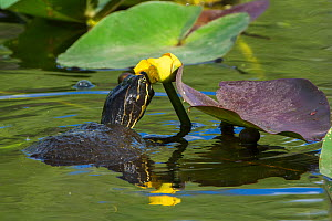 Florida cooter (Pseudemys concinna floridana) looking at Spatterdock waterlily (Nuphar advena), Everglades National Park, Florida, USA, March. - George  Sanker