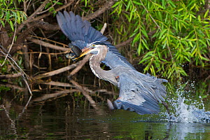 Great blue heron (Ardea herodias) taking off with fish prey,  Everglades National Park, Florida, USA, March.  -  George  Sanker