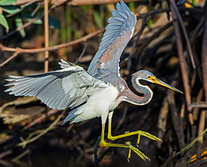 Tricolored Heron (Egretta tricolor) landing, Everglades National Park, Florida, USA. March.  -  George  Sanker